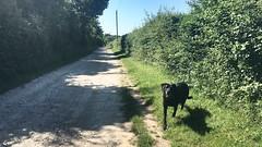 Happy dog (Speckled Jim) Tags: summer lane dog labrador hampshire