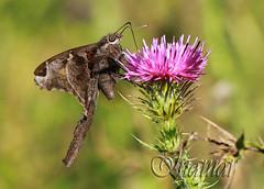 Mariposa Typhedanus Undulatus papillon (Marina-Inamar) Tags: macro macros macrofotografia mariposas buenosaires argentina