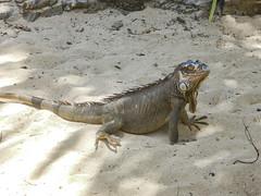 2017-04-22_12-25-33 Pinel Island Iguana (canavart) Tags: sxm stmartin stmaarten fwi sintmaarten caribbean beach pinelisland iguana iletpinel