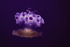 (Gaelle C.) Tags: water aquario aquarium genes genova italy italie meduse jellyfish plum violet bleu blue sea animal animals