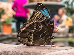 Himmelsfalter (Tobias Keller) Tags: 43 animal augsburg bavaria bayern botanischergarten butterfly deutschland frühling germany himmelsfalter morphopeleides natur querformat schmetterlinge schwaben swabia tier tiere tierfoto botanicalgarden nature tropicalbutterflys tropischeschmetterlinge exif:isospeed=400 geocountry camera:make=panasonic exif:focallength=42mm geostate geo:lon=10912955555555 geocity geolocation camera:model=dmcg5 exif:lens=lumixgvario1442f3556 exif:aperture=ƒ80 geo:lat=48349641666667 exif:model=dmcg5 exif:make=panasonic lumixgvario1442f3556 panasonicdmcg5