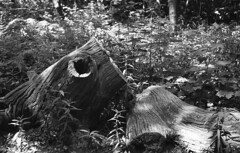 Inviting space (Arne Kuilman) Tags: castricum stump treestump kentmere kentmere100 iso100 blackandwhite homedeveloped rodinalspezial rodinal 135 yashica yashica35gx gx k100 scan epson v600 1200dpi 354311 film believeinfilm rangefinder manualfocus noordhollandsduinreservaat