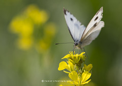 Beauty in Nature (T@hir'S Photography) Tags: canola flower mustard nature beauty outdoors macro butterfly insect indian white cabbage large travel field green yellow
