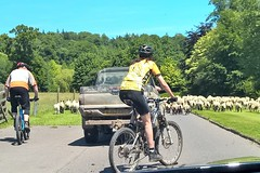 Life in the Fast Lane (Not!) (Eleanor (No multiple invites please)) Tags: phoneshot somerset chard cricketstthomas sheep lambs bikes cyclists van june2017