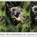 KUSA-4913 (Weinstöckle) Tags: waldohreule eule vogel