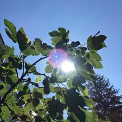 IMG_3140.jpg (biogartler) Tags: wien österreich garden urbangardening feigenbaum figtree figs feigen sun sonne leaves blätter
