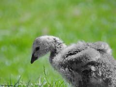 Barnacle gosling (Corine Bliek) Tags: bird birds vogel vogels ganzen goose geese birding nature natuur wildlife baby juvenile young small jongen brantaleucopsis