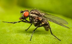 Mosca (Kuboimagen) Tags: mosca fly insecto macro d5100 nikon naturaleza verde tuboextencion insect bokeh green 50mm