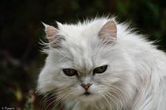 Pacha (Mystycat =^..^=) Tags: chat gato gatto kitty katze persan chinchilla animaldecompagnie pedigree félin feline coth5