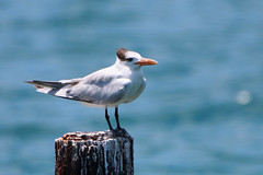 Royal Tern (W + S) Tags: keywest floridia fl bird nature birdwatching birds birdlover birding dry tortugas np garden key drtortugas royal tern