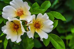 Sweet and Rosey. (Omygodtom) Tags: 3 outside tamron90mm tamron flower rose green white orange macro bokeh natural wildflower nikkor nature nikon dof d7100 digital