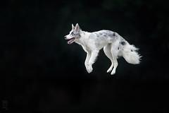 Keep calm and.. LEVITATE! (Alicja Zmysłowska) Tags: jump action levitation fly flying dog dogs border collie