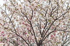 DSC_4501 (Frankie Tseng (法蘭基)) Tags: yms taipei taiwan flower flowers nikon cherryblossoms summer spring 2017 abstract blur bw bwphotography blackwhite yangmingshan 台北 櫻花 陽明山 台灣 抽象