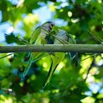 Una #cotorra argentina (#Myiopsitta monachus) alimentando a su #polluelo #aves #birds #pajaros #monkparakeet #parakeet #psittaciformes #psittacidae #cotorraargentina #bcn #barcelona #cotorramonje #chick thumbnail
