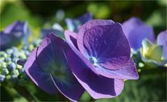 hydrangea.......... (atsjebosma) Tags: flower hortensia blue blauw macro garden summer zomer hydrangea july juli atsjebosma 2017 tuin thenetherlands nederland ngc