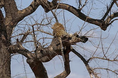Leopard sighting (crafty1tutu (Ann)) Tags: travel holiday 2016 southafrica krugernationalpark africa african animal leopard tree wild inthewild free roamingfree carnivore sky crafty1tutu canon7dmkii ef100400mmf4556lisiiusm anncameron naturescarousel coth coth5