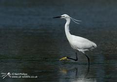 Little egret in West Looe River-4 (Neil Phillips) Tags: ardeidae aves egrettagarzetta littleegret neoaves pelecaniformes bird footed heron longlegs longneck yellow