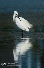 Little egret in West Looe River-9 (Neil Phillips) Tags: ardeidae aves egrettagarzetta littleegret neoaves pelecaniformes bird footed heron longlegs longneck yellow