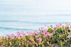 Flower and Sea (maida0922) Tags: a7r fe85mmf14gm california sandiego delmar coastal shore beach flower purble blue ocean sea dof bokeh summer afternoon cliff plant