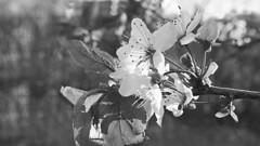 Spring remembered in B+W (Elisafox22 slowly catching up again!) Tags: elisafox22 sony rx10m3 happymonochromebokehthursday hmbt plum plumblossom april spring tree japanese leaves bokeh sunshine petals monochrome blackandwhite monotone shadows bw mono greyscale elisaliddell©2017