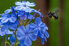24:52 Pollen Jock (Woodlands Photog) Tags: bee pollen plumbago flower violet plant nature