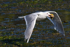 20170708 Oak Bay Gull (Robert Harwood) Tags: gull glaucus winged flying shell oakbay victoria vancouverisland britishcolumbia canada