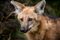 Being Attentive (helenehoffman) Tags: canid wildlife conservationstatusnearthreatened manedwolf sandiegozoo southamerica mammal nature animal