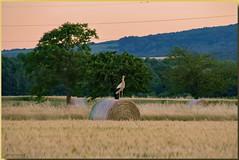 Elle en fait tout un foin... (jamesreed68) Tags: botte foin cigogne alsace 68 hautrhin soultz paysage nature france grandest canon eos 600d blé oiseaux arbres animal