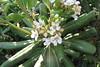 Pittosporum tobira (Gabriel Terraz) Tags: hyères var france pittosporaceae pittosporum