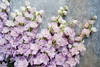 Varietal lilac delphinium. Top view (Olga_Z1982) Tags: delphinium purple lilac soft full furry long flower background tile table surface invitation decoration beauty romance spring summer flora plants wedding