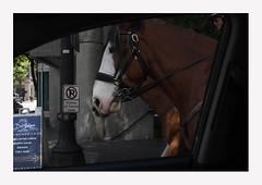 Portland's Finest (R. Drozda) Tags: portland oregon pdx downtown portlandpolice horse policehorse driveby driving drozda littledoglaughedstories