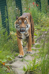 Sumatran Tiger (Panthera tigris sumatrae) (Seventh Heaven Photography) Tags: sumatran tiger jambi edinburgh zoo lothian scotland dudley zoological gardens nikond3200 pantheratigrissumatrae panthera tigris sumatrae carnivore animal mammal felidae criticallyendangered