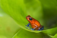brightness in the bromeliad (chris.lloydrogers) Tags: red poison frog bluejeans bromeliad rainforest costarica oomphagapumilio nature wildlife nikon