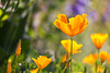 California Poppies (mclcbooks) Tags: flower flowers floral macro closeup californiapoppy poppies spring denverbotanicgardens colorado