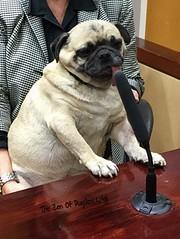 """When you testifies in da court and you're da only one making sense!"" PugsleyLuigi  #pug #dog #court #law #witness #lawandorder #zen #innocent #honesty #truth #judge #lawyer (TheZenOfPugsleyLuigi) Tags: pug dog court law witness lawandorder zen innocent honesty truth judge lawyer"