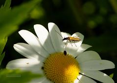 D3X_0565_fl (dmitrytsaritsyn) Tags: bug 105mm nikon d3x r1c1