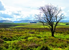 COAST TO COAST WALK 2015 (pajacksonartist) Tags: wainwright coasttocoast tree tarn moor cumbria shap kirkby stephen walk landscape