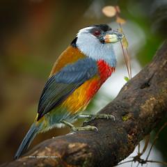 Toucan Barbet (rickdunlap2) Tags: semnornisramphastinus toucanbarbet ecuador wildlife