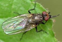 5.1 mm female bean seed fly (ophis) Tags: diptera calyptratae muscoidea anthomyiidae delia beanseedfly