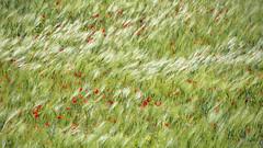D-Day, 6 giugno 1944 , il giorno più lungo ... (miriam ulivi) Tags: miiamulivi nikond7200 dday 6giugno1944 erbaepapaveri grass poppies erba papaveri vento wind nature
