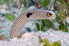 Spotted Garden Eel - Heteroconger hassi (zsispeo) Tags: heterocongerbleeker1868 hassi garden eel tropical scuba diving underwater macro macrophotography black spots color colorful coral reef fish sand hypnotic beach white spot heteroconger mean dirty look fishporn sea ocean holidays vacation summer relaxation d800e fauna wildlife wild geotagged science taxonomy travel sustainable life aquatic beautiful nature animal biology id identification souvenir living favorite natural padi rare saltwater turquoise blue conservancy quality escapade tourism wet outdoors fun