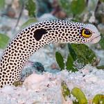 Spotted Garden Eel - Heteroconger hassi thumbnail