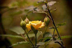 20170618-DSC_3506 (Vighnaraj Bhat) Tags: nikon d750 nikkor105mmf28gvr fullframe primelens 105mm bokeh flower bokehlicious beyondbokeh rose beautiful outdoor plant dof closeup