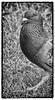 Day 156 (lizzieisdizzy) Tags: blackandwhite blackwhite black bright whiteandblack white bird birds pigeon head body legs feet claw claws talon talons beak bill feather feathers plumage shiny grass lawn eye beady