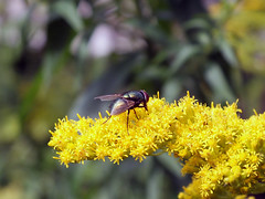 Tiitel (myyyth) Tags: flower yellow blooming insect fly landed