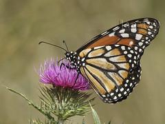 Mariposa  Monarca  - Papillon (Marina-Inamar) Tags: macro macros macrofotografia pereyrairaola buenosaires argentina insectos mariposa monarca coth5