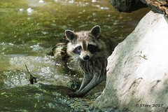 IMG_6136 raccoon (starc283) Tags: flickr flicker raccoon starc283 nature naturesfinest outdoors outdoor canon canon7d