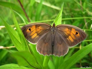 Butterfly 1315