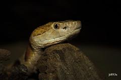 Southern Copperhead (jt893x) Tags: 105mm afsvrmicronikkor105mmf28gifed agkistrodoncontortrixcontortrix copperhead d810 jt893x macro nikon portrait reptile snake southerncopperhead venemous specanimal
