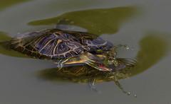 Approccio (lincerosso) Tags: rettili tartarughe trachemideamericana trachemysscriptaelegans etologia invasiva bellezza armonia stagniefossi pianuraveneta